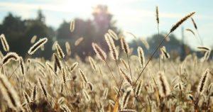 gräser sorgen für allergien